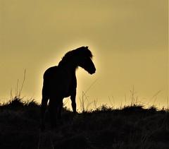 Exmoor Pony - Sunrise Silhouette (Gilli8888) Tags: northeast northtyneside dawn stmarysisland whitleybay tyneandwear nature pony exmoorpony silhouette silhouettephotography horse equine sunrise nikon p900 coolpix