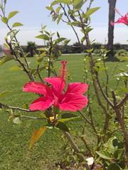 Hibisco (LuPan59) Tags: lupan59 hibisco flora chá bebidas
