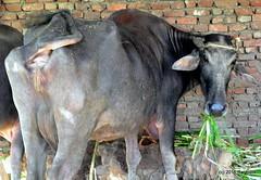 DSC_0863 (rachidH) Tags: cattle gamous buffalo waterbuffalo bubalus bubalusbubalis buffle saqqara dahshour memphis egypt rachidh nature