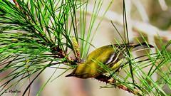 Pine Warbler (Suzanham) Tags: bird yellow pinetree wildlife nature noxubeewildliferefuge mississippi canonpowershotsx60hs pinewarbler warbler