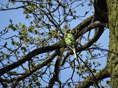 Wild bird of Paris (Jeanne Menjoulet) Tags: parcdevincennes perroquet perruche oiseau bird parrot budgie wild enliberté