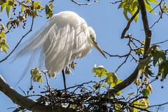 Nesting Snowy Egret (MelRoseJ) Tags: santarosa california unitedstates sonyalpha sal70400g sony sonyilca77m2 a77ii alpha autofocus nature birds west9thstreetrookery snowyegret rookery nest