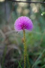 Wildflower  Little Leaf Mimosa (EXPORED) (Kat~Morgan) Tags: wildflower spring little leaf mimosa pink nature sony a3000