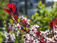week 13, 3x50 project (cindydebree.nl) Tags: 3x50 3x50project 3x502017 50mm18stm 50mm canonnl canon vlissingen netherlands dieniederlande olanda nl zeeland walcheren bloemen flowers flora bloesem tuin garden garten bloei voorjaar lente