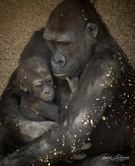 Big Brother! (ToddLahman) Tags: westernlowlandgorilla gorilla bigbrother brother sister littleleslie little baby babygorilla canon7dmkii canon canon100400 closeup sandiegozoosafaripark safaripark outdoors mammal