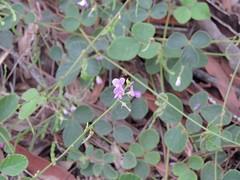 Desmodium rhytidophyllum 7 (barryaceae) Tags: scribbly gum track greenfields beach vincentia jervis bay nsw australia aushp heath plant