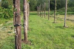 IMG_0997_1 (Pablo Alvarez Corredera) Tags: vega barros langreo huerta huerto arboles arbol kiwis kiwi postes alambrado rural mundo rustico