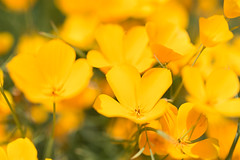 Lots of Poppies (Middle aged Nikonite) Tags: flowers color landscape california poppy poppies nikon d7200 foresthill bokeh close up macro nature patterns vibrant macrodreams