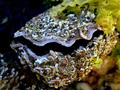 Between the BARNACLES (Lani Elliott) Tags: nature naturephotography rockpools pools water shell shells barnacles macro upclose closeup close bokeh darkbackground