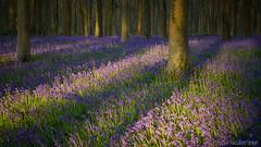 Bluebells (Sue MacCallum-Stewart) Tags: bluebells wephamwoods sussex woodland trees flowers nature landscape spring