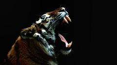 Volodya (dieter-und-marion sempf) Tags: tiger raubtier säugetier sibirischertiger amurtiger tier tiere volodya tiergartennürnberg