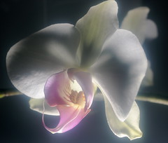Pastel Orchid (wordman760) Tags: orchid flash flashphotography flower fleur indoors studio canon xsi digital slr cokin filter pastel