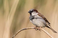 House bird (Pascal Bernardin) Tags: moineaudomestique passerdomesticus housesparrow