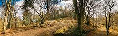 Birnam Wood- playing with panorama in Lightroom 6 (grahamrobb888) Tags: nikon nikond800 sigma20mmf18 wideangle panorama birnamwood trees pathway pathways