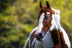 Move... (Ricardo Zaviasky) Tags: f28 70200mm 5dmarkiv canon horse equestrian cavalo equine haras harastrêsrios painthorse pinto tobiano