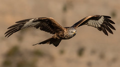 122.2 Rode Wouw-20170406-J1704-50619 (dirkvanmourik) Tags: corvisser ineziatoursgierenfotografiereisapril2017 milanoreal milvusmilvus redkite rodewouw spanje vogelsvaneuropa bird