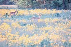 White-tailed deer amidst a field of gold (sniggie) Tags: deerherd spring whitetaileddeer kentucky deer marioncounty odocoileusvirginianus whitetail yellow flower rapeseed