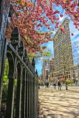 Flat Iron and Blossom trees (katiegodowski_photography) Tags: blossoms nyc street new york city photography explore flickr photographer photoshop edit manhattan canon