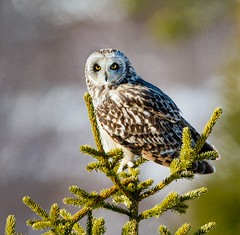 Short-eared Owl (Tom Dalhoy) Tags: ifttt 500px yellow birds spring bird eyes animals animal mountain wildlife owl spruce great