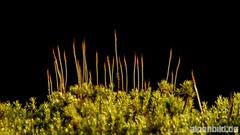 Moos (alpenbild.de) Tags: d800 d800e nikond800e nikon alpenbildde fullframe fx moos moss natur nature neckarsteinach odenwald vollformat 全画幅数码单反相机 大自然 尼康 苔 hessen deutschland
