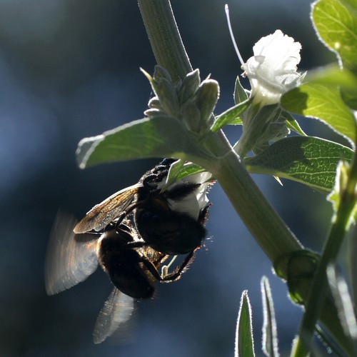 Doublet of mating Carpenter Bees (Xylocopa, Anthophoridae, Hymenoptera) on native White Sage (Salvia apiana, Lamiaceae)