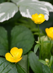 Buttercup (KsCattails) Tags: flower spring buttercup