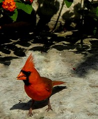 Male cardinal finds seeds on the limestone ledge (pawightm (Patricia)) Tags: austin texas malecardinal inmygarden northerncardinal centraltexas midmay brightredbird pawightm cardinaleatingseed cardinalonthelimestoneledge dscn1068002