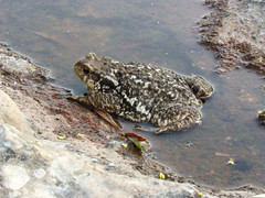 the new Flickr today- the big toad (Marlis1) Tags: toad amphibians bufobufo krte marlis1 catalunyaspainmarliestortosa flickrtodaz