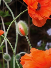poppies 050 (cellocarrots) Tags: poppies