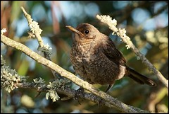 Melro-preto,Common Blackbird  (Turdus merula (Jos Diogo 58) Tags: