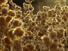 Shrubs [Explored!] (Diego Patagnico) Tags: patagonia plant yellow capital shrubs neuquen arbusto yuyos rosetas