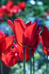 Eden Tulip (TempusVolat) Tags: lighting light plants sunlight flower slr ecology closeup digital canon garden geotagged eos petals stem mr bokeh edenproject petal tulip stems environment eden dslr eco horticulture canoneos gareth tempus morodo 60d volat canoneos60d eos60d mrmorodo garethwonfor tempusvolat