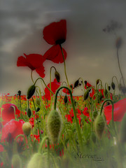 The Poppy Fields (Stevew8156) Tags: nikonflickraward