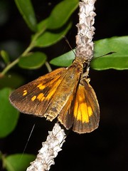 Broad-winged Skipper male (rstickney37) Tags: skipper hesperiidae poanes broadwingedskipper poanesviator northcarolinabutterflies