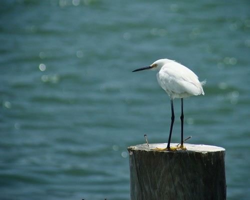 Snowy Egret on a Piling at Fort Desoto Park in St. Petersburg, FL
