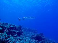 Barracuda (Aaron Lynton) Tags: fish canon hawaii scuba diving maui barracuda molokini g12