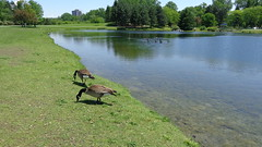 Nice to get rid of the kids for a while - (Shirley Pickthorne-Elliott) Tags: park geese pond ottawa june2013ottawaflowersgrad