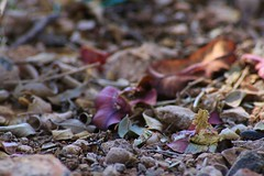 Love Colours (Tessaan) Tags: africa detail leaves southafrica purple ground afrika coulours