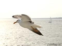 seegull (wouterschenk) Tags: holland waddenzee nederland noordzee zee meeuw texel noordholland eiland slufter