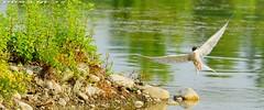 STERNA 3 Oasi di Cronovilla Vignale Parma ( Oasis di Cronovilla Vignale Parma ) http://cronovilla.weebly.com/ (DIOGENE12) Tags: park parco nature birds animals natura uccelli oasis animali oasi sterna