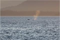 461HDRa (markbyzewski) Tags: sunset alaska ugly humpbackwhale hdr