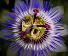 Follow Your Passion (sea turtle) Tags: seattle flowers blue flower garden purple passion ballard passionflower botanicalgardens botanicalgarden ballardlocks hirammchittenden hiramchittenden carlsenglishjrbotanicalgardens carlsenglishjrbotanicalgarden carlsenglishjr