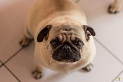 Pugs (Heder Novaes) Tags: co animal brasil canon de amigo do foto pug preto cachorro bahia salvador click fotografia pugs homem mib melhor homens freitas heder lauro novaes hedernovaes hederrock