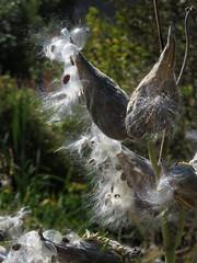 Milkweed Burst (ParkerRiverKid) Tags: fall seeds burst milkweed timeless odc