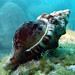 Australian hairy triton shell - Ranella australasia
