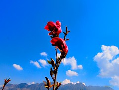 Good morning friends !!! (Rambonp love's all creatures of Universe.) Tags: blue red wallpaper sky india mountains flower green nature clouds canon paradise tulip buds kashmir srinagar jk incredibleindia touristplace tulipgardensrinagar