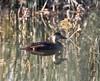 Black Scoter (Melanitta americana), F, Yolo Bypass Wildlife Area, Yolo Co., CA 11/25/13 (abcdefgewing) Tags: anatidae