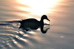 Silhouette in the sunset (bbic) Tags: sunset duck reflets dripping rata apus picatura