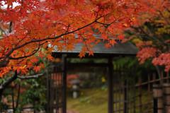 20131130 Shirotori garden 7 (BONGURI) Tags: nikon autumncolors nagoya 紅葉 愛知 aichi 名古屋 atsuta もみじ autumntints モミジ 熱田 白鳥庭園 shirotorigarden d3s sigma50mmf14exdghsm gettyimagesjapan13q4