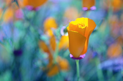 Under the spotlight (Bellatchitchi) Tags: orange flower macro nature fleur soleil bokeh couleurs colourful extrieur dtail d7000